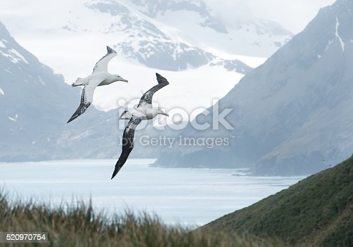 Pair of wandering albatrosses flying above grassy hill,  with snowy mountains and light blue ocean in the background, South Georgia Island, Antarctica