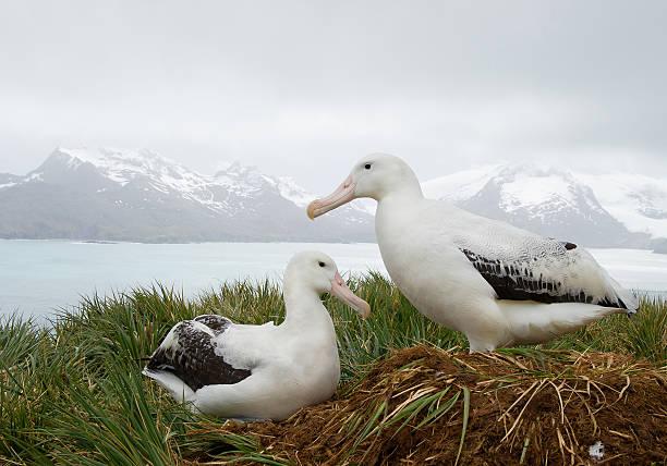 Pair of wandering albatrosses on the nest stock photo