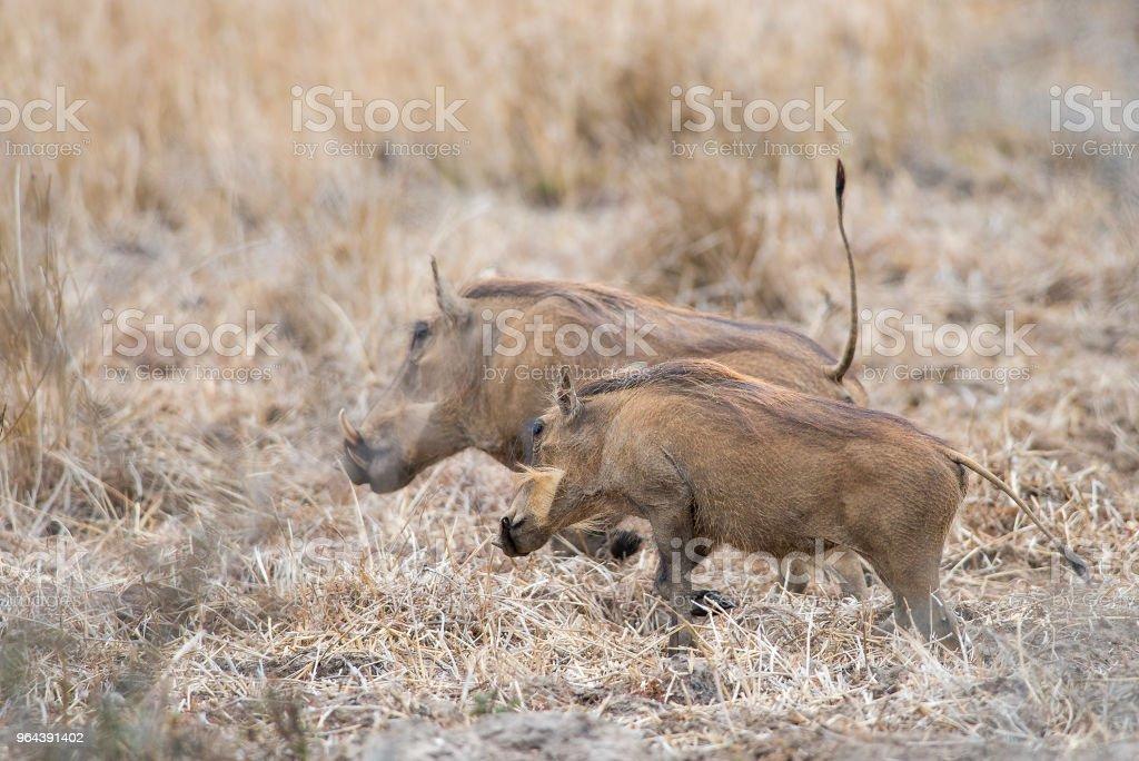 Par de javalis na pastagem - Foto de stock de Animal royalty-free