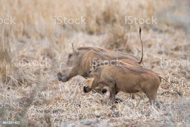Foto de Par De Javalis Na Pastagem e mais fotos de stock de Animal