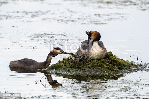 istock A pair of water birds, Great Crested Grebe, feeding chick at nest. 1338800002