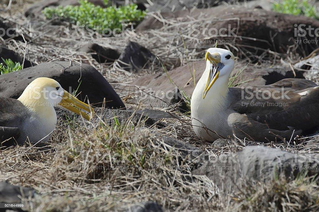 Pair of waved albatross (Phoebastria irrorata) stock photo