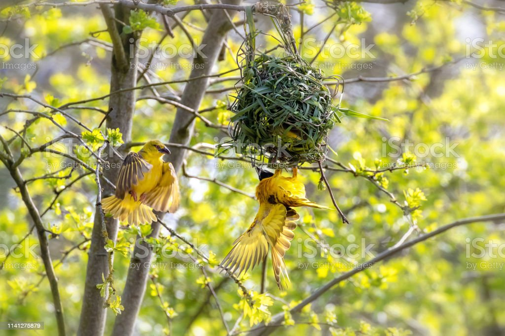 A Pair Of Weaver Birds Building A Nest Stock Photo Download