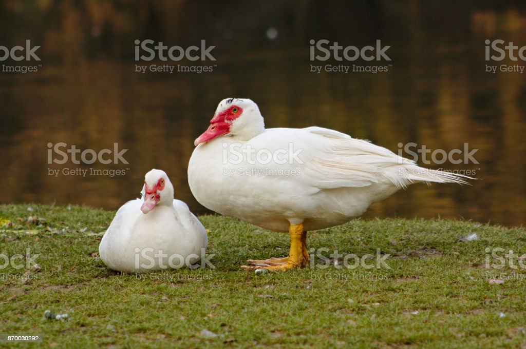 Pair of white Muscovy duck - Cairina moschata stock photo