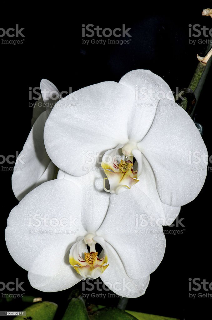 Pair of white orchids royalty-free stock photo