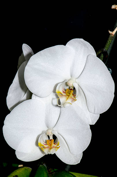 Pair of white orchids stock photo