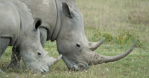 Pair of White Rhinos stock photo