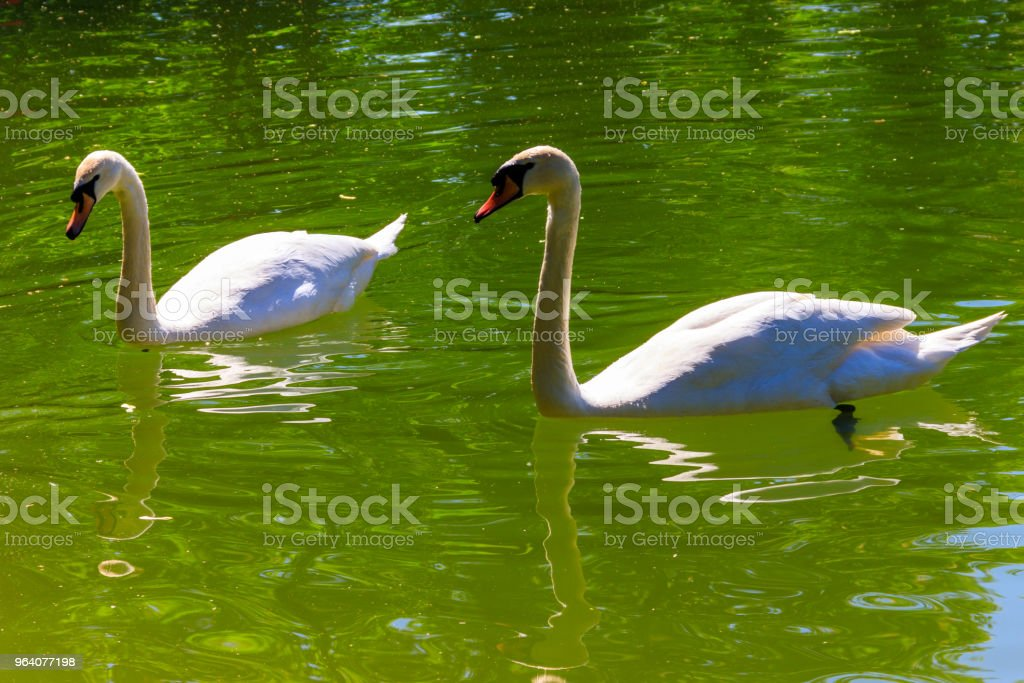 Pair of white swans swimming on the lake - Royalty-free Affectionate Stock Photo