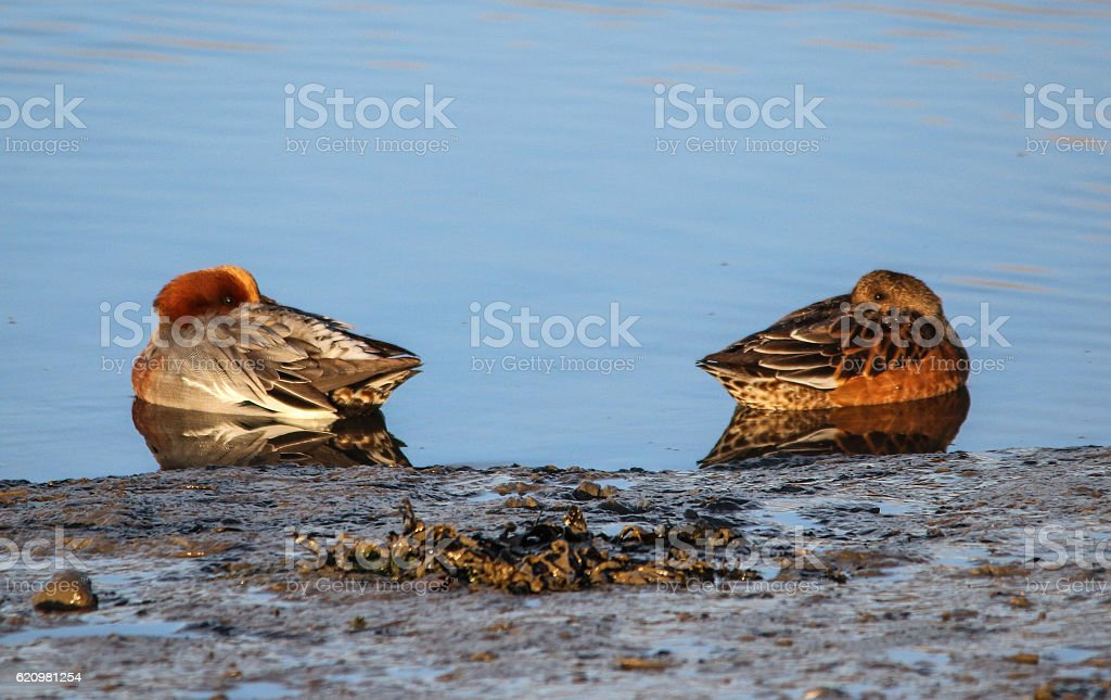 Pair of Wigeon Resting on the Water foto royalty-free