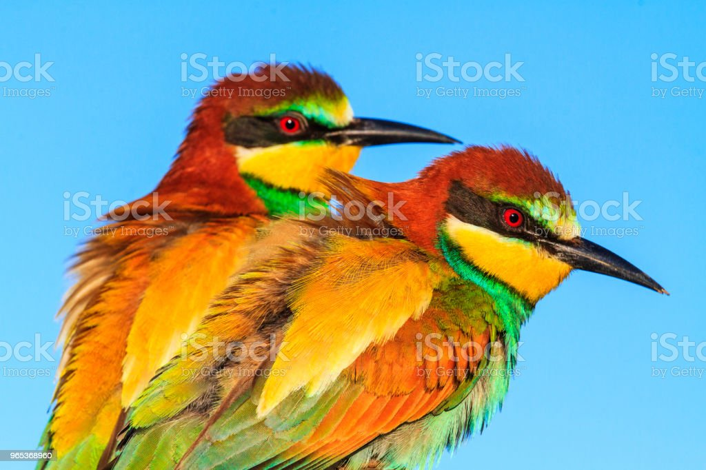 pair of wild beautiful birds royalty-free stock photo