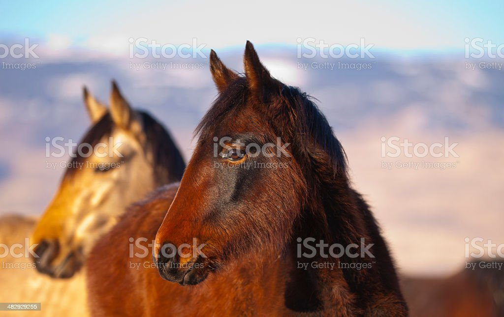 Pair of wild mustang horses stock photo