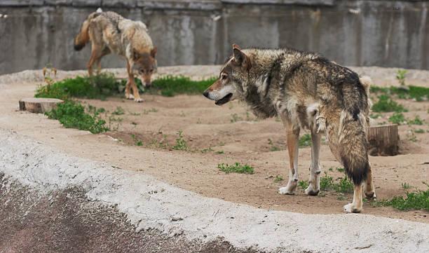 pair of wolfs stock photo