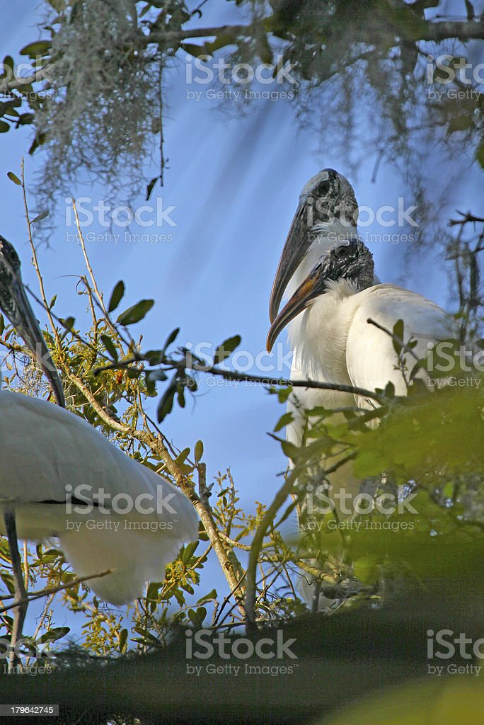 Pair of Wood Storks royalty-free stock photo