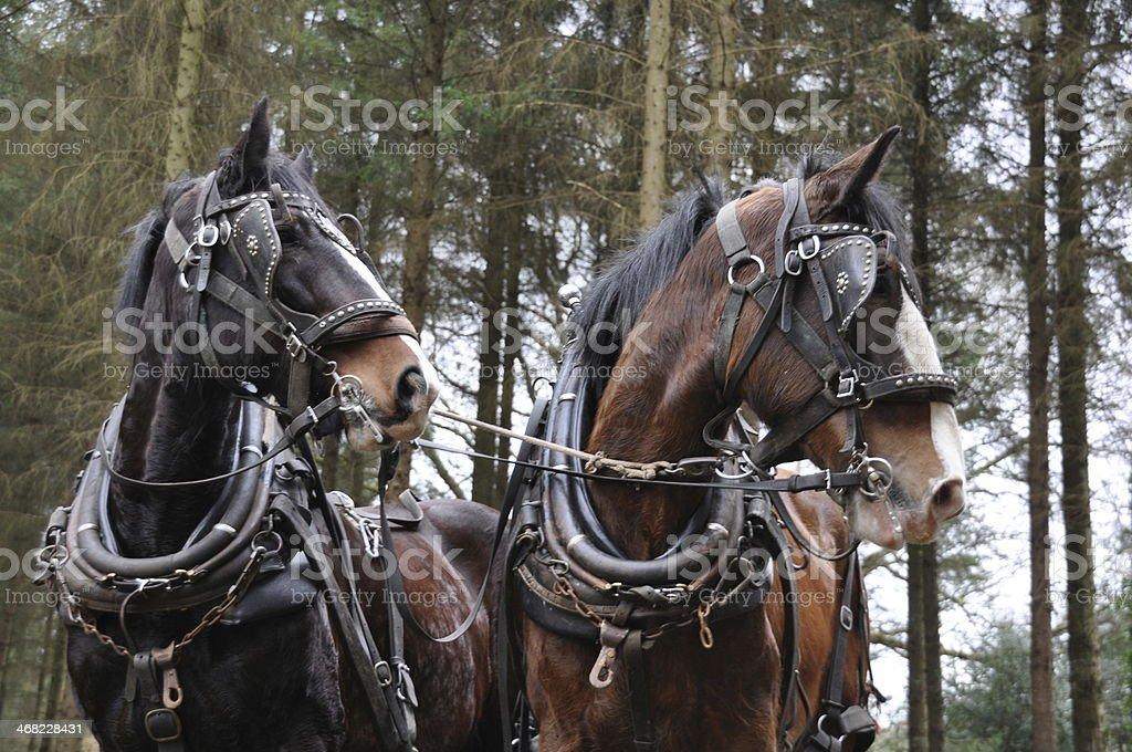 pair of working horses stock photo