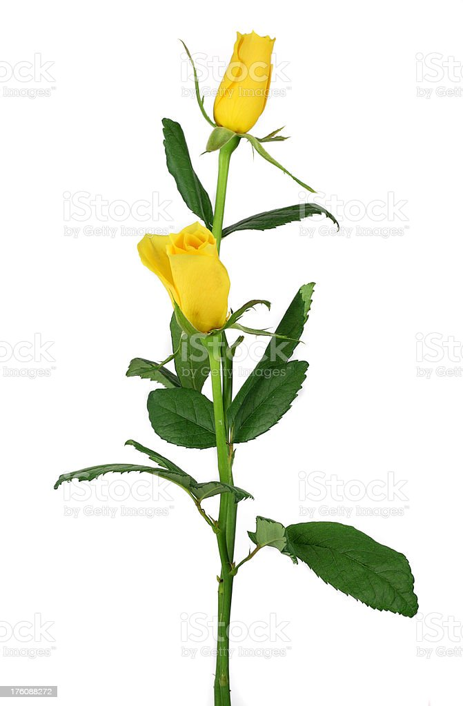 Pair of yellow roses isolated on white stock photo