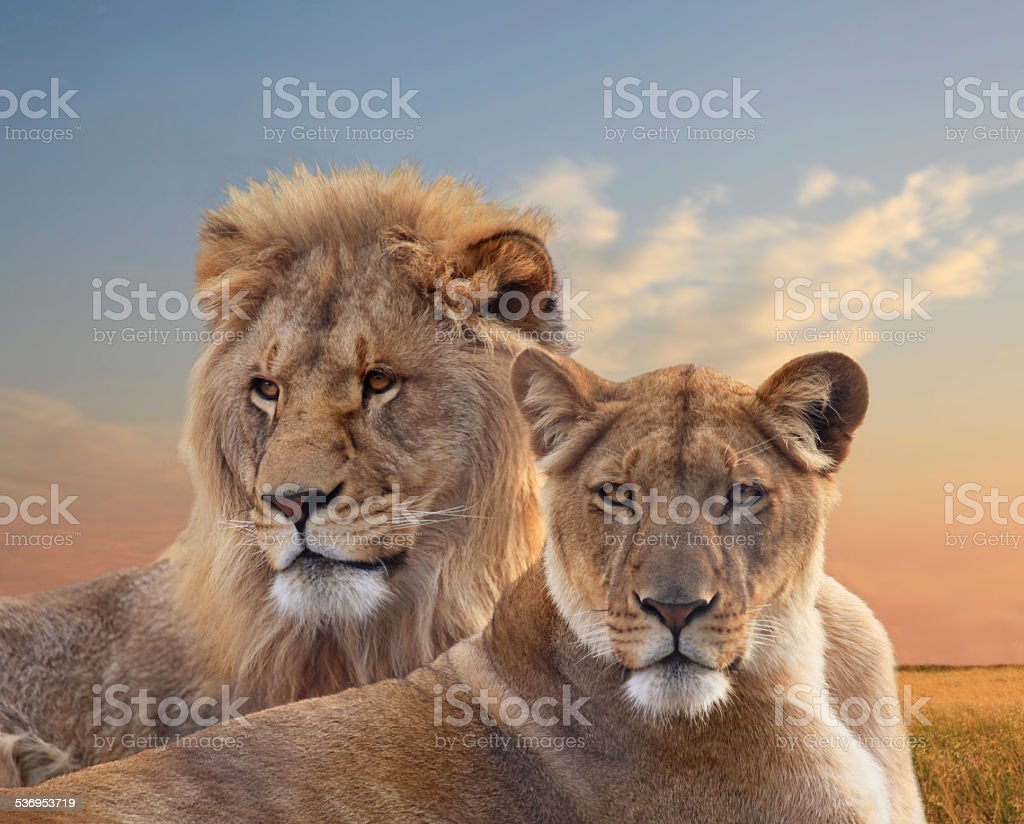 Pair of Young African Lions Resting at Sunset stock photo