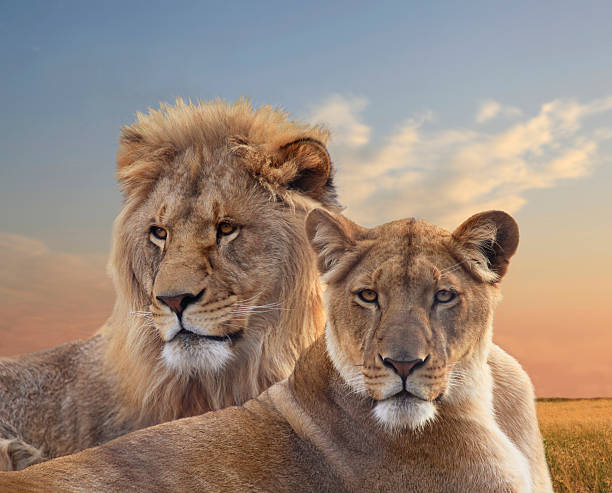pair of young african lions resting at sunset - lioness stock photos and pictures