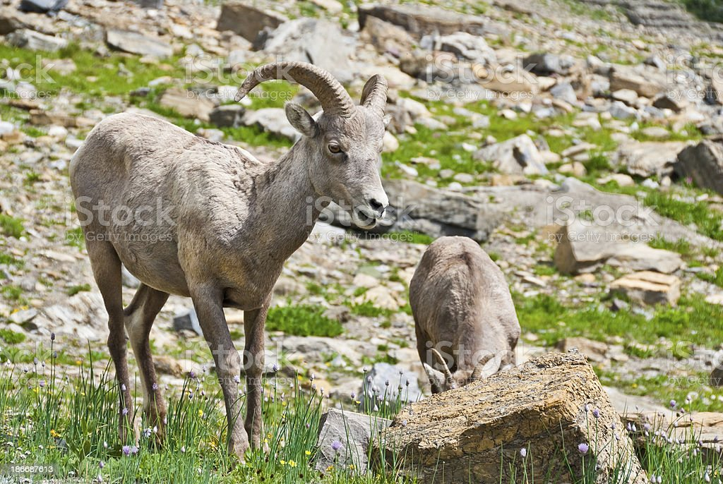 Pair of Young Bighorn Sheep The Bighorn Sheep (Ovis Canadensis) is a North American sheep named for its large curled horns. An adult ram can weigh up to 300 lb and the horns alone can weigh up to 30 lb. This pair of young bighorns was photographed at the Haystack Saddle on the Highline Trail in Glacier National Park, Montana, USA. Animal Stock Photo