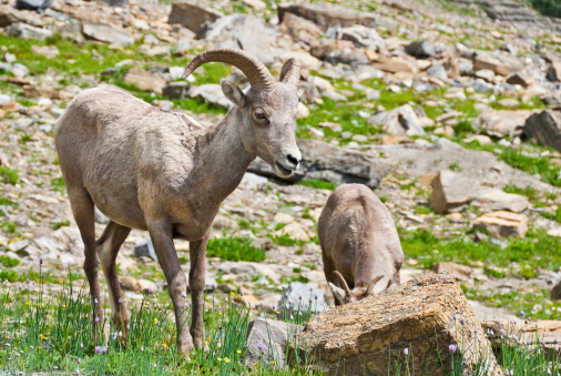 Pair Of Young Bighorn Sheep Stock Photo - Download Image Now