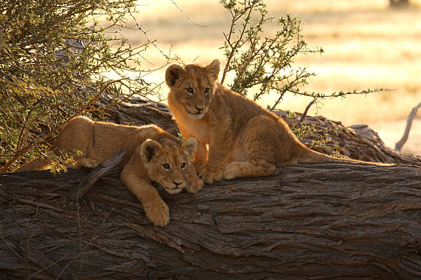 Pair of young lion cubs baklit by a sunrise  lion cub stock pictures, royalty-free photos & images