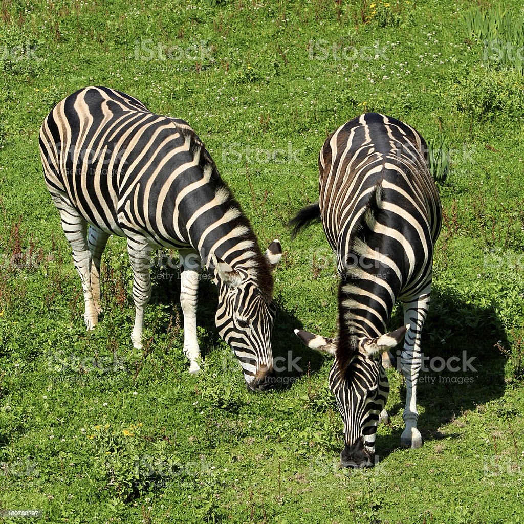 Pair of Zebra Eating Grass stock photo