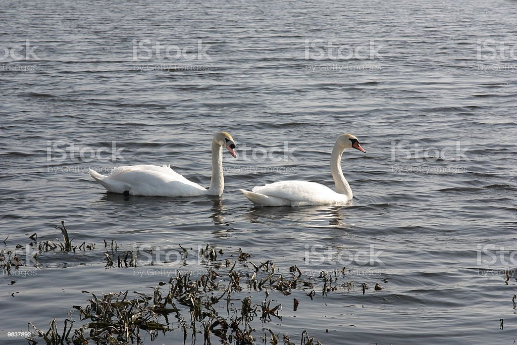Pair swans in the lake. royalty-free stock photo