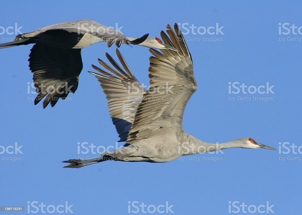 Paired Sandhill Cranes Flying royalty-free stock photo