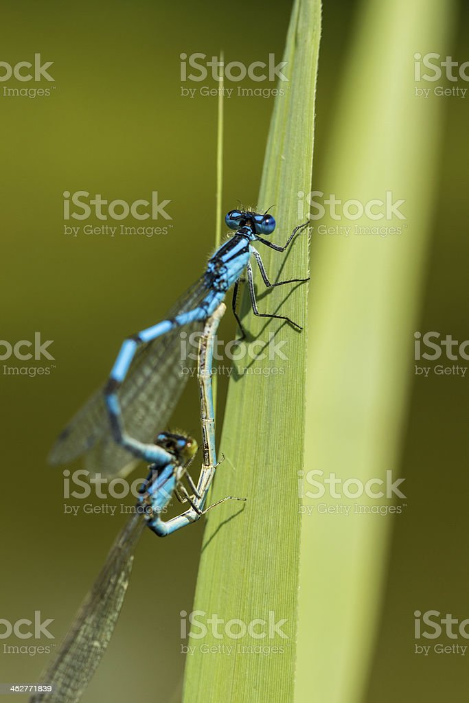 MACRO - pairing of blue featherleg / dragonfly (Platycnemis pennipes) royalty-free stock photo