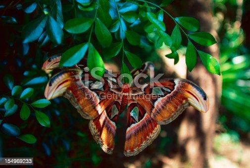istock Pairs atlas moth 154969233