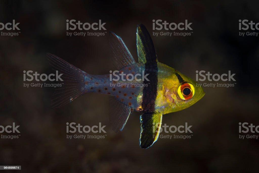 Pajama Cardinalfish, juvenile royalty-free stock photo
