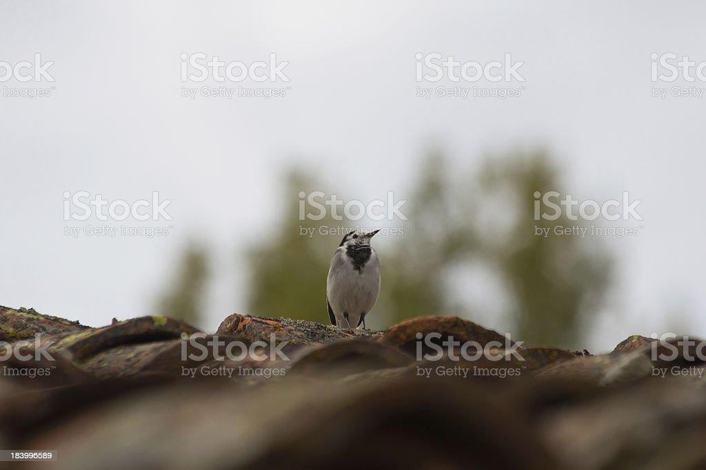 Pajaro en tejado - Bird on roof stock photo
