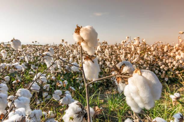 pakuk tarlaları hasat edilmeye häzir - cotton growing bildbanksfoton och bilder