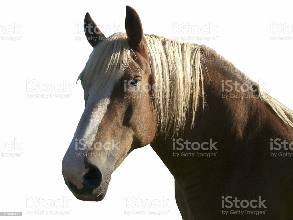 Palamino horse royalty-free stock photo
