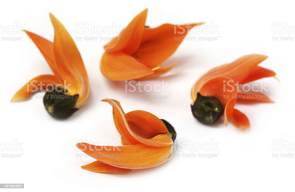Palash flower of Southeast Asia stock photo