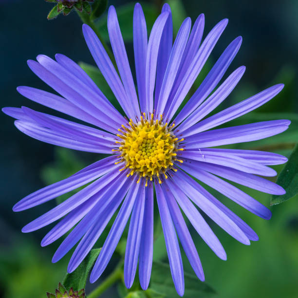 Pale Blue Aster stock photo