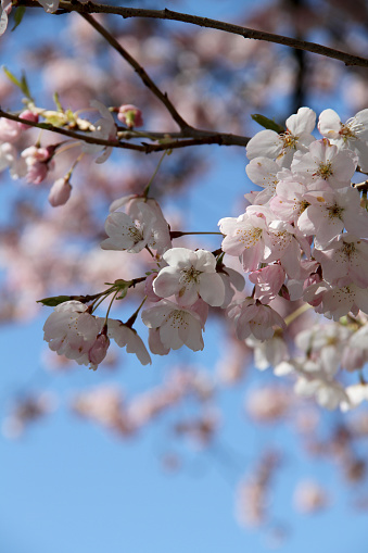 Cherry blossoms bursting at the beginning of summer