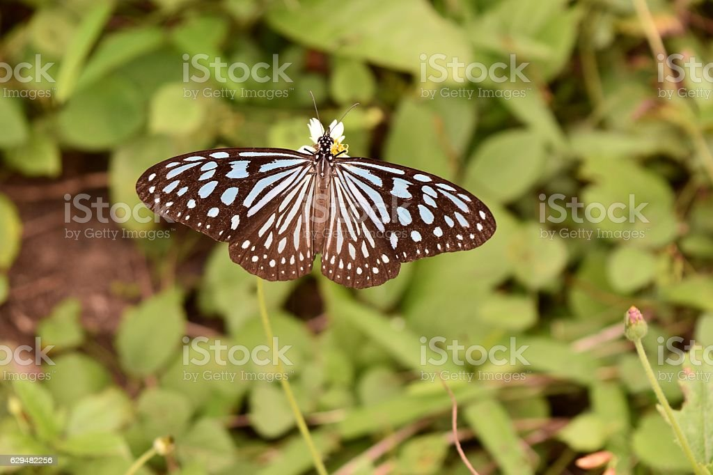 Pale Blue Tiger,Tirumala limniace stock photo