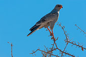 A Pale Chanting-goshawk - Melierax canorus- is sitting on the Branch of a tree in Etosha National Park, Namibia. This bird is a subspecies of Hawk.