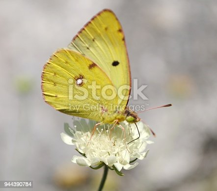 Colias hyale (also known as pale clouded yellow), is a butterfly of the family Pieridae, that is, the yellows and whites, which is found in most of Europe and large parts of Asia.