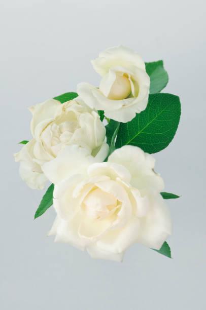 淡い色のバラ ストックフォト