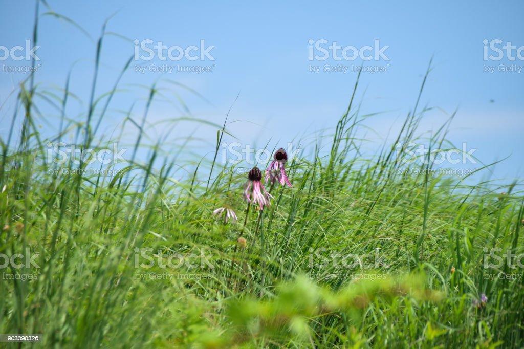 Pale Coneflowers stock photo