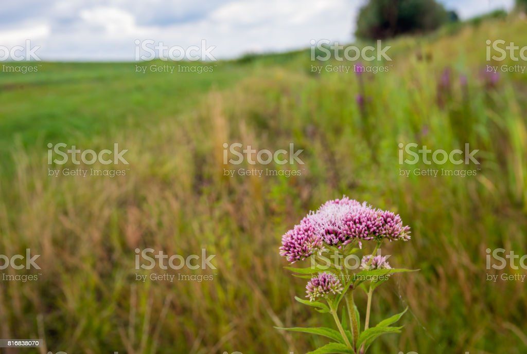 Pale dusty pink flowering hemp-agrimony in the foreground of a rural landscape stock photo