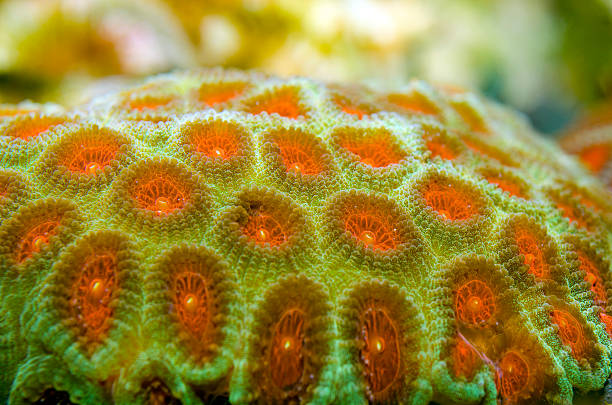 Favia pallida,brain coral brain coral,Family: Faviidae polyp corals stock pictures, royalty-free photos & images