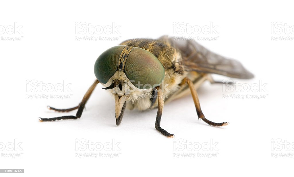 Pale giant horse-fly in front of white background royalty-free stock photo