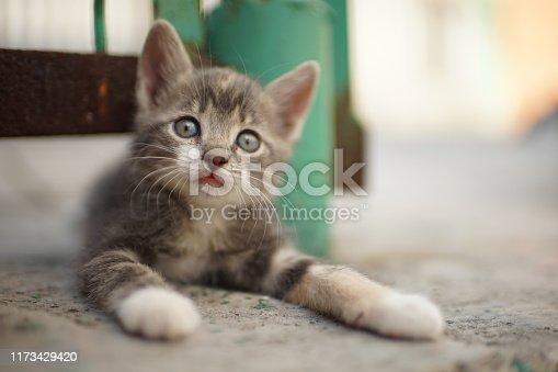 pale gray-white kitten lying in the yard on a stone floor near old fence, a beautiful portrait of a cute little kitty cat