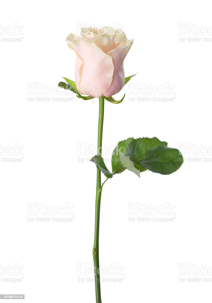 Pale light pink rose isolated on white background. stock photo