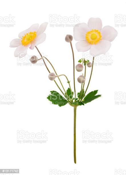 Pale pink anemone flowers isolated picture id813171742?b=1&k=6&m=813171742&s=612x612&h=jvmplut36leklwetjzpe7cw7wvnqklzcdrpoqn7f4zy=
