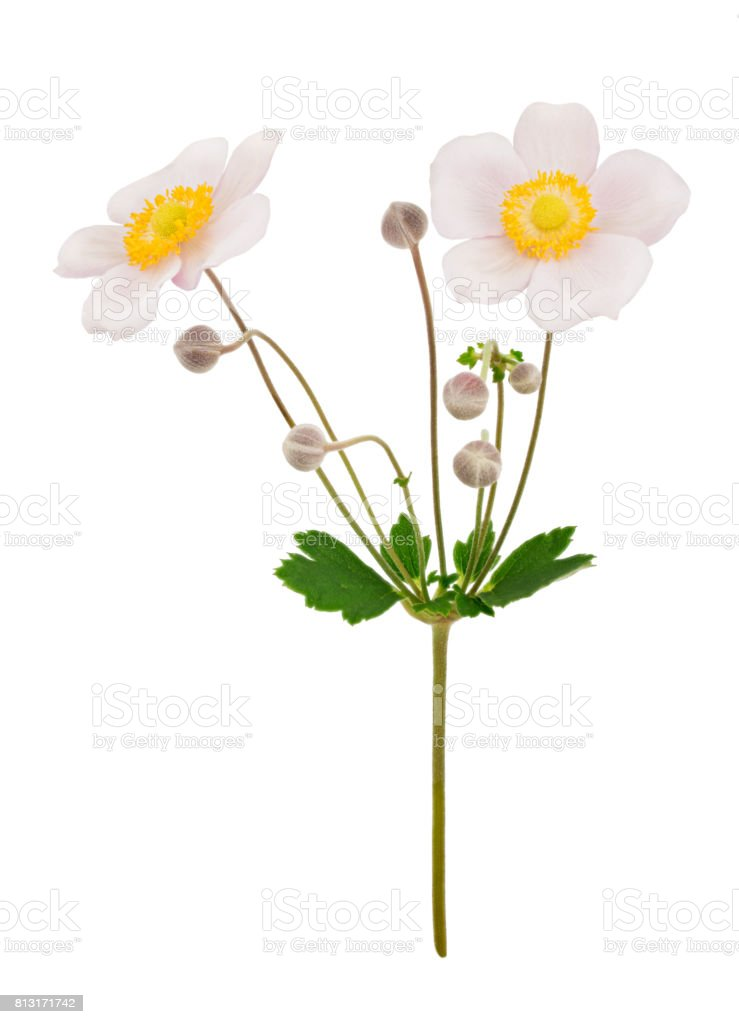 Pale pink anemone flowers isolated stock photo