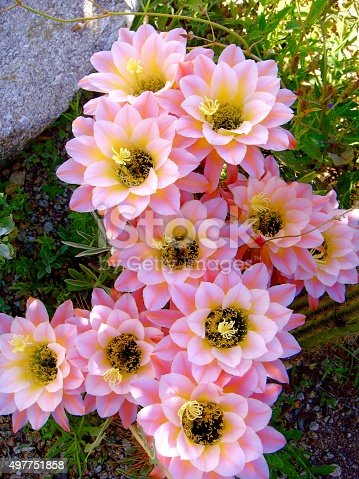 Pale pink cactus flowers in tucson stock photo more pictures of pale pink cactus flowers in tucson stock photo more pictures of 2015 istock mightylinksfo
