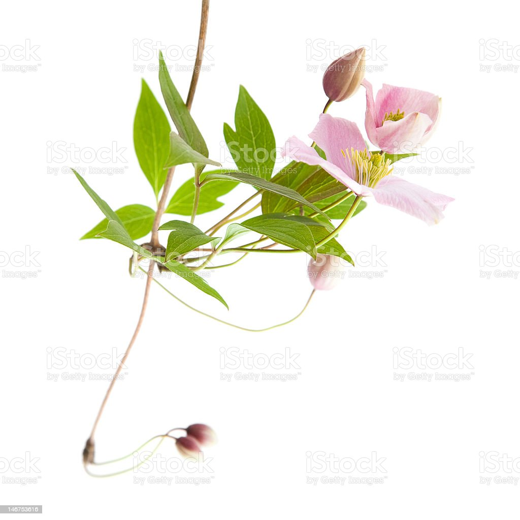 pale pink clematis stock photo